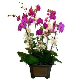 Hatay çiçek yolla , çiçek gönder , çiçekçi   4 adet orkide çiçegi