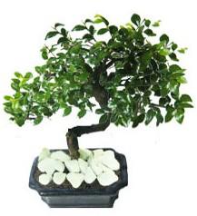 9 yasinda Bonsai agaci  Hatay çiçek siparişi sitesi