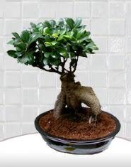 saksı çiçeği japon ağacı bonsai  Hatay hediye çiçek yolla