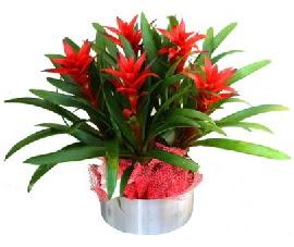 5 adet guzmanya saksı çiçeği  Hatay çiçek siparişi vermek