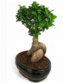 Bonsai saksı bitkisi japon ağacı  Hatay çiçek servisi , çiçekçi adresleri