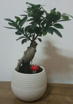 Bonsai japon ağacı saksı çiçeği  Hatay çiçek siparişi vermek
