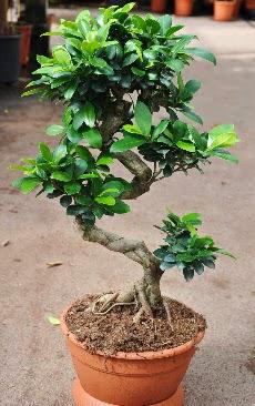 Orta boy bonsai saksı bitkisi  Hatay güvenli kaliteli hızlı çiçek