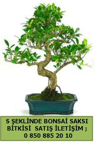 İthal S şeklinde dal eğriliği bonsai satışı  Hatay cicek , cicekci