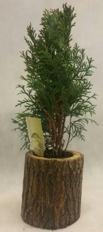 SINIRLI STOK Selvi Bonsai Doğal kütükte  Hatay internetten çiçek siparişi