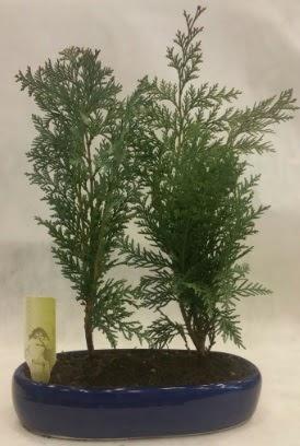 SINIRLI SAYIDA Selvi Ağacı bonsai ikili  Hatay cicekciler , cicek siparisi
