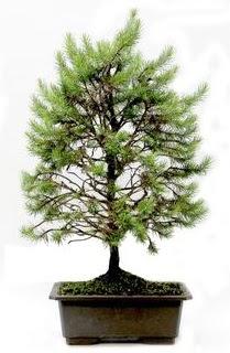 *** STOKTA YOK - Çam ağacı bonsai bitkisi satışı  Hatay İnternetten çiçek siparişi
