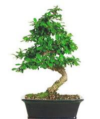 Bonsai bitkisi satışı  Hatay cicekciler , cicek siparisi