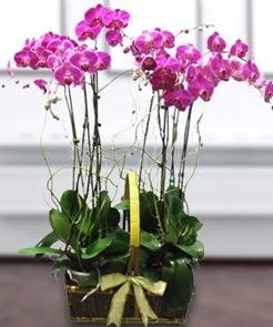7 dallı mor lila orkide  Hatay çiçek siparişi vermek