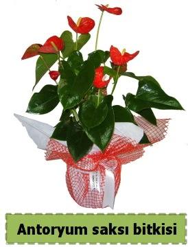 Antoryum saksı bitkisi satışı  Hatay 14 şubat sevgililer günü çiçek