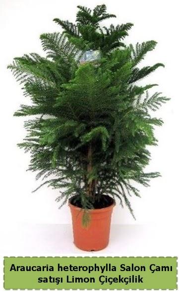 Salon Çamı Satışı Araucaria heterophylla  Hatay uluslararası çiçek gönderme
