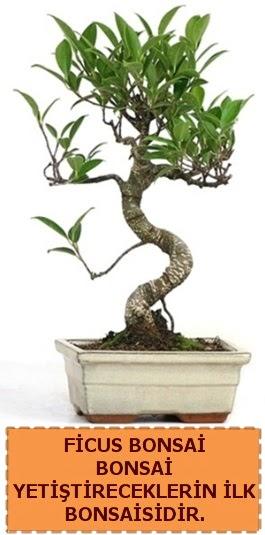 Ficus bonsai 15 ile 25 cm arasındadır  Hatay online çiçek gönderme sipariş