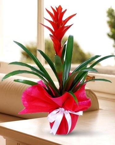 Guzmanya Saksı Çiçeği  Hatay online çiçek gönderme sipariş