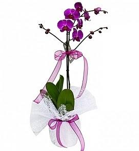 Tek dallı saksıda ithal mor orkide çiçeği  Hatay kaliteli taze ve ucuz çiçekler
