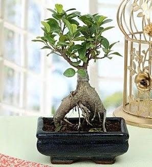 Appealing Ficus Ginseng Bonsai  Hatay çiçek gönderme