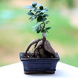 Marvellous Ficus Microcarpa ginseng bonsai  Hatay yurtiçi ve yurtdışı çiçek siparişi