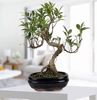 Gorgeous Ficus S shaped japon bonsai  Hatay çiçek siparişi sitesi