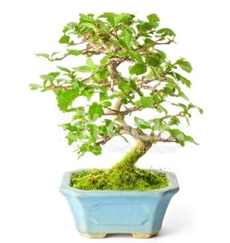 S zerkova bonsai kısa süreliğine  Hatay internetten çiçek siparişi