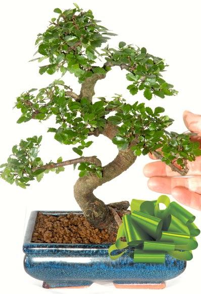 Yaklaşık 25 cm boyutlarında S bonsai  Hatay çiçek servisi , çiçekçi adresleri