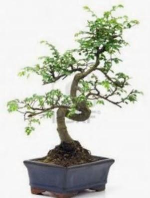 S gövde bonsai minyatür ağaç japon ağacı  Hatay uluslararası çiçek gönderme