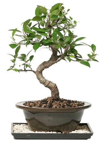 Altın kalite Ficus S bonsai  Hatay cicekciler , cicek siparisi  Süper Kalite