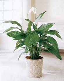 Hatay online çiçekçi , çiçek siparişi  spatilyum ithal büyük boy