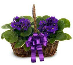 Hatay güvenli kaliteli hızlı çiçek  sepette 2 adet menekse