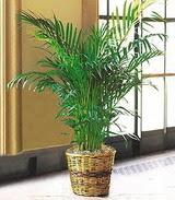 Hatay yurtiçi ve yurtdışı çiçek siparişi  Areca Palm ithal kaliteli