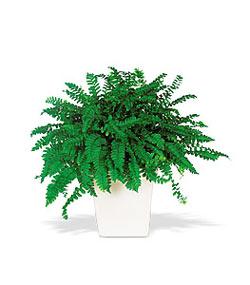 Hatay online çiçekçi , çiçek siparişi  Decorative Fern ask merdiveni
