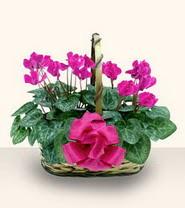 Hatay çiçek yolla , çiçek gönder , çiçekçi   Double Cyclamen sepette