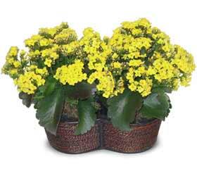 Hatay İnternetten çiçek siparişi  Double Kalanchoe sepette