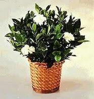 Hatay çiçek yolla  Gardenia Plant ithal saksi