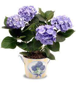 Hatay çiçek gönderme  Hydrangea Plant ortanca