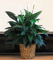 Hatay çiçek satışı  Large Spathiphyllum