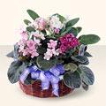 Hatay çiçek siparişi vermek  4 adet afrika meneksesi