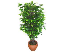 Ficus Benjamin 1,50 cm   Hatay çiçek gönderme