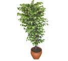Ficus özel Starlight 1,75 cm   Hatay çiçek yolla , çiçek gönder , çiçekçi