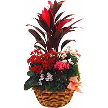 5 adet canli saksi  çiçegi   Hatay online çiçek gönderme sipariş