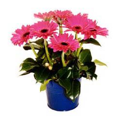 vazo içerisinde gerbera çiçekleri   Hatay online çiçekçi , çiçek siparişi
