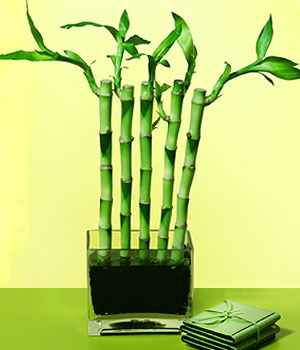 Hatay çiçek gönderme  Good Harmony Lucky Bamboo camda