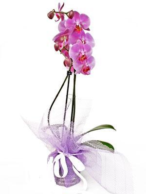 Hatay çiçek gönderme  Kaliteli ithal saksida orkide