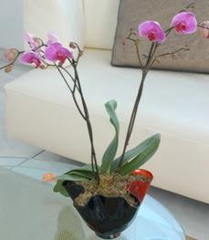 Hatay çiçek online çiçek siparişi  tek dal ikili orkide saksi çiçegi