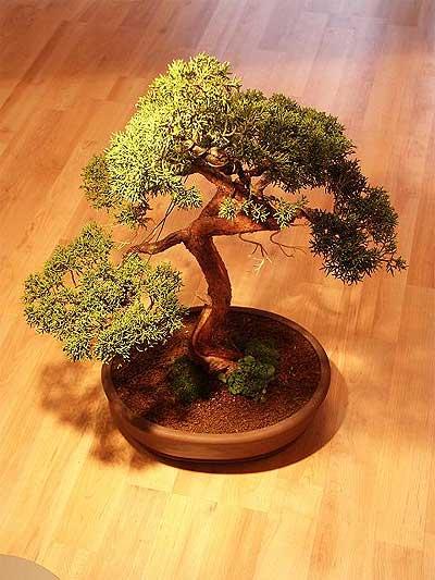 ithal bonsai saksi çiçegi  Hatay ucuz çiçek gönder