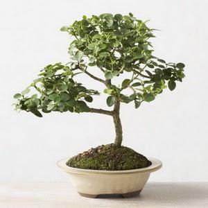 ithal bonsai saksi çiçegi  Hatay çiçek satışı