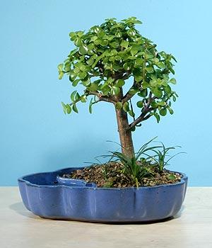 ithal bonsai saksi çiçegi  Hatay kaliteli taze ve ucuz çiçekler