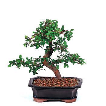 ithal bonsai saksi çiçegi  Hatay yurtiçi ve yurtdışı çiçek siparişi