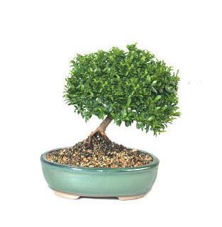 ithal bonsai saksi çiçegi  Hatay İnternetten çiçek siparişi