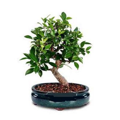 ithal bonsai saksi çiçegi  Hatay çiçek servisi , çiçekçi adresleri