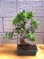 ithal bonsai saksi çiçegi  Hatay çiçekçi telefonları