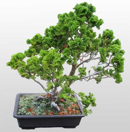 ithal bonsai saksi çiçegi  Hatay internetten çiçek siparişi